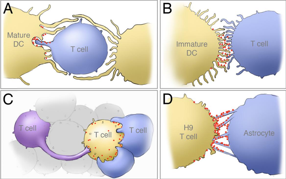 Четыре типа вирусологических синапсов при инфицировании клеток разного рода