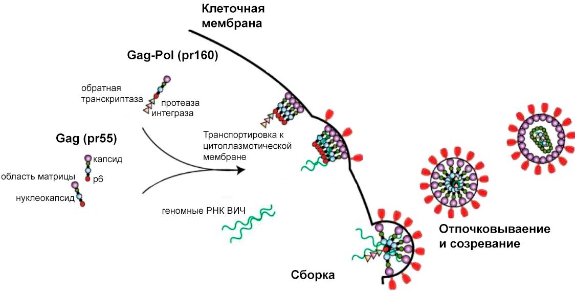 Этапы сборки и созревания ВИЧ