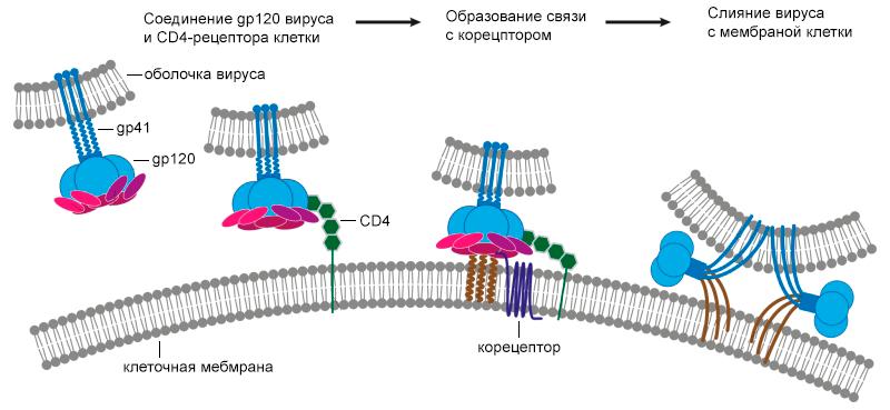 Адсорбция ВИЧ на поверхности мембраны и слияние с клеткой